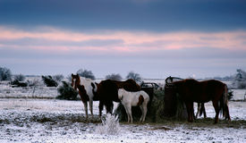 Frozen field. Horses huddle together and eat hay in an icy field stock image