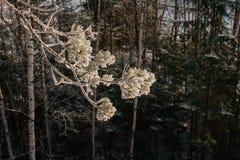 Frozen fir branch Stock Photo