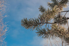 Frozen fir branch Royalty Free Stock Photography