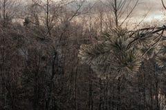 Frozen fir branch Stock Photos