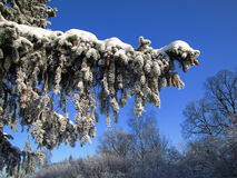 Frozen fir branch. Winter fir branch in the frost on the blue sky background Royalty Free Stock Photo