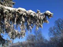 Frozen fir branch. Royalty Free Stock Photo