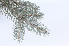 Frozen fir branche Royalty Free Stock Image