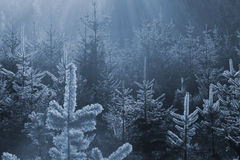 Frozen fir forest. New winter fir trees in a blue tone, where the frozen edge is shining through sun rays Stock Photos