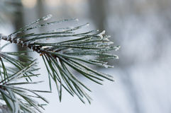 Frozen Fir Leaves Royalty Free Stock Images