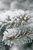 Frozen Fir needles. Frost on Fir (Abies) needles with blurred background stock images