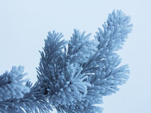 Frozen fir-tree branch Royalty Free Stock Photo