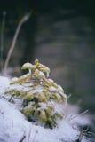 Frozen fir tree branches in snow Stock Photos