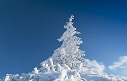 Frozen fir tree isolated on blue sky. In the mountains Stock Photo