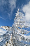 Frozen fir tree isolated on blue sky. In the mountains Royalty Free Stock Photos