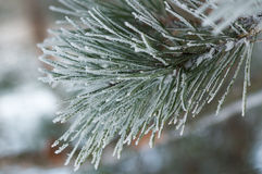 Frozen Fir Tree Stock Photos