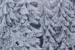 Frozen fir trees background. Fir trees at an icy cold winter day after a blizzard. Magic landscape in winter Stock Photo