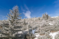 Frozen fir trees in the mountains. Frozen fir tree isolated and blue sky in the mountains Stock Image
