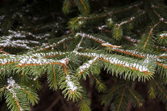 Frozen firs macro Royalty Free Stock Photos