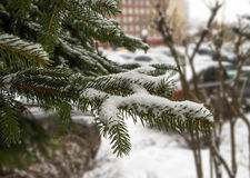Frozen firs mid Stock Images