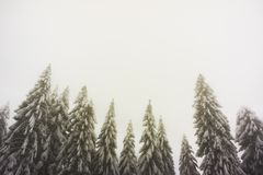 Snowy and frozen firs with large and clear copy space. Frozen firs in a wintry and foggy weather with large and clear copy space Stock Image