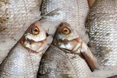 Frozen fish. Freshfish market. Gilt-head bream. Fish sale in market. Sea bream fish on ice. Fresh fish on ice for sale. Frozen ice-cold fish in the store Frozen stock images