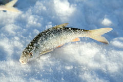Frozen fish on ice Royalty Free Stock Photo