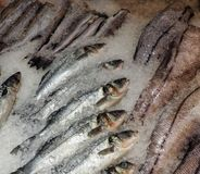 Frozen fish on the ice royalty free stock photos