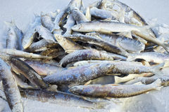 Frozen fish lies on snow. Frozen fish vendace lying in the snow Royalty Free Stock Image