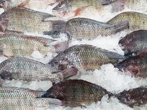 Frozen fishes on ice texture background Royalty Free Stock Photo