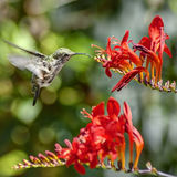 Hummingbird in Mid Flight Drinks Nectar from Red Flower. A Hummingbird Caught Mid Flight Drinks Nectar from a Budding Red Flower in the Spring Royalty Free Stock Images