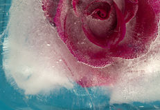 Frozen flora - rose Stock Image
