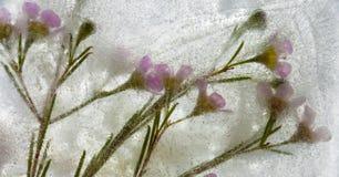 Frozen flora - waxflower Stock Photos