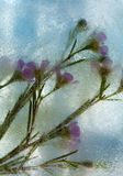 Frozen flora - waxflower Royalty Free Stock Photography