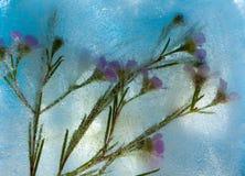 Frozen flora - waxflower Stock Image