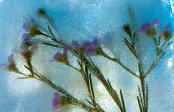 Frozen flora - waxflower Stock Photo