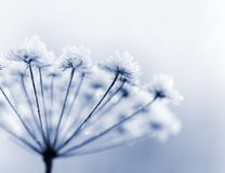 Frozen flower. In blue tone, very shallow focus Stock Photography