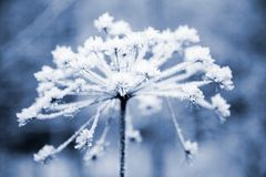 Frozen flower. In blue tone, very shallow focus Royalty Free Stock Images