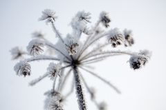 Frozen flower royalty free stock image
