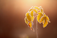 Frozen flower. Frozen ice covered flower on a cold foggy winter day Stock Photo