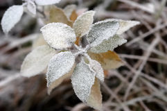 Frozen flower. At the low temperature Royalty Free Stock Photography