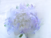 Frozen   flower of   aster Royalty Free Stock Photo