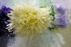Frozen   flower of   aster Stock Image