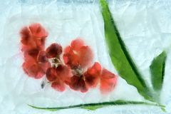 Frozen flower. Frozen beautiful flower. blossomsin the ice cube stock images