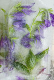 Frozen   flower of         campanula Royalty Free Stock Image