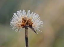Frozen flower in december sun morning Stock Photo