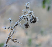 Frozen flower in december sun morning Royalty Free Stock Image