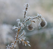 Frozen flower in december sun morning Royalty Free Stock Photography