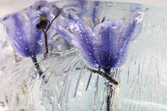 Frozen Flower. This image is from a series Called Frozen Flowers Stock Photo