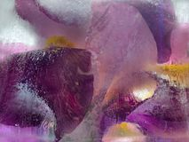 Frozen   flower of  iris. Frozen  fresh beautiful   flower of     iris  and air bubbles in the ice  cube stock photos