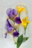 Frozen   flower of  iris Stock Images