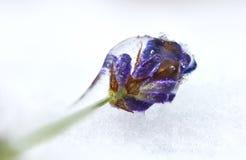 Frozen flower of lavender Stock Images