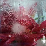 Frozen   flower of         peony Royalty Free Stock Photos