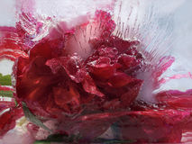 Frozen   flower of         peony Stock Photography