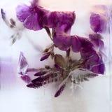 Frozen   flower of   phlox Stock Photo